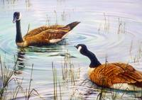 Canada Geese in the Wetlands