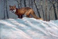 Red Fox in the Winter Shadows