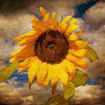 """sunflower"" by Palombafoto"