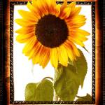 """frame with a sunflower"" by Palombafoto"