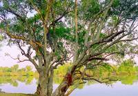 Tree by Zambezi River, Zambia - Africa