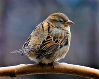 Female House Sparrow