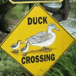 """Duck Crossing"" by DonnaGrayson"