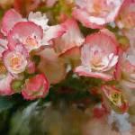 """""""Lindys Summer Begonias"""" by JBentley"""