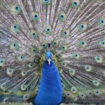 """""""Puffing Peacock"""" by KuvTxhiajKojTxhais"""
