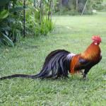 """Phoenix Rooster"" by KuvTxhiajKojTxhais"