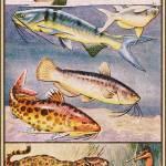 """Cat Fish, Tiger Fish, Jaguar Fish"" by Unseen_Fantasy"