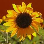 """""""Sunflower garden"""" by Unseen_Fantasy"""