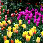"""Tulip Festival One"" by gopnw"