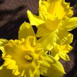 """Glowing Daffodil Flowers art photography"" by BasleeTroutman"