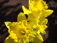 Glowing Daffodil Flowers art photography