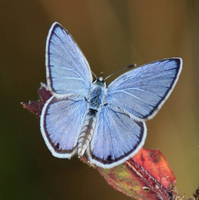 Blue Butterfly Square