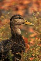 Duck in Autumn