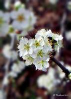 Plum Tree Blossoms II