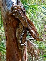 Alligator Posing as Cypress Tree ... with teeth!