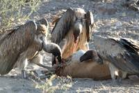 Vultures Feast