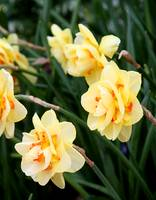 Fancy Daffodils 7743