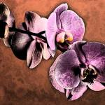 """ORCHID IN FRESNO STYLE"" by RWA"