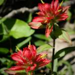 """Red Flower at Bragg Creek"" by C_Rivait"