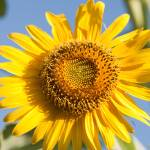 """macro shot of sunflower(Helianthus annuus)"" by Rajeshbac"