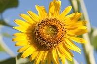 macro shot of sunflower(Helianthus annuus)