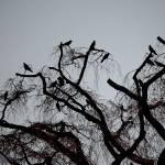 """Crows"" by MasonHastie"
