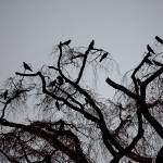 """""""Crows"""" by MasonHastie"""