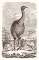 Moa Dinornis (extinct animal of New Zeland)