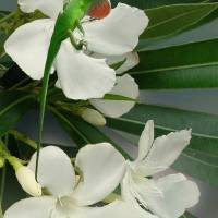 """Green Anole and Oleander"" by I.M. Spadecaller"
