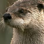 """Otter"" by chuietta"