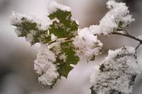 snow covered holly leaves