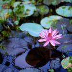 """Water Lily in Pond"" by georgerhunt"