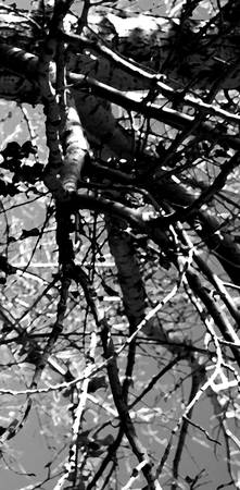 Out On a Limb   0620 Black and White Edition