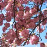 """""""cherryblossomsky"""" by myshellazart"""