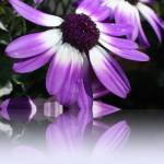 """Daisy Reflections"" by ArtZThings"
