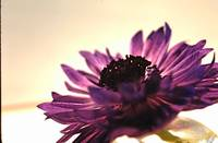 Purple Flower 5