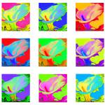 """Nine colorful Calla Lilies"" by whatipaint4u"