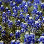 """Texas Bluebonnets"" by georgerhunt"