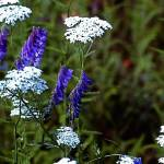"""White & Blue Wildflowers"" by georgerhunt"