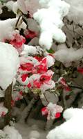 Japanese Quince in Winter