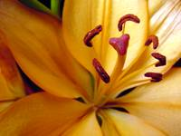 Yellow Day Lily 85a