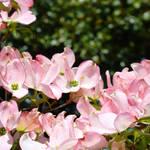 """Spring Tree Landscape Pink Dogwood art"" by BasleeTroutman"