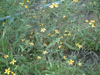 Tiny yellow wild flowers
