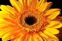 The Gerbera Flower