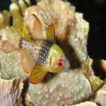 """Pajama Cardinalfish"" by The_World_Underwater"