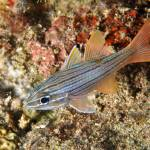 """Manylined Cardinalfish"" by The_World_Underwater"