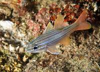 Manylined Cardinalfish