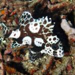 """ManySpotted Sweetlips"" by The_World_Underwater"