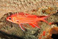 YellowStriped Squirrelfish
