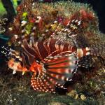 """Zebra Lionfish"" by The_World_Underwater"